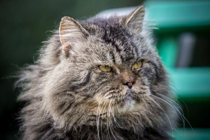 Oude kat met lange haren
