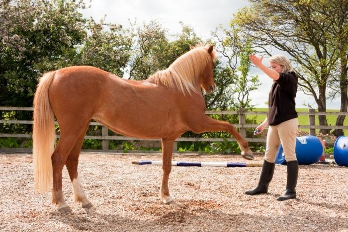 Vrouw traint paard met de clicker