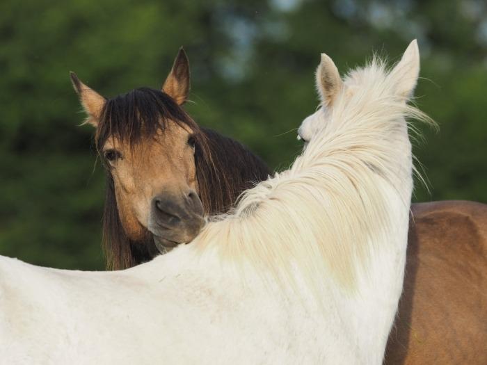 Twee bevriende paarden groomen elkaar
