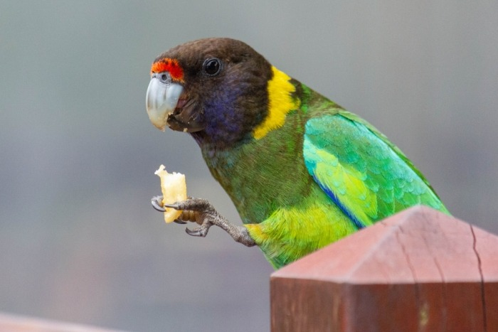 Papegaai eet een frietje