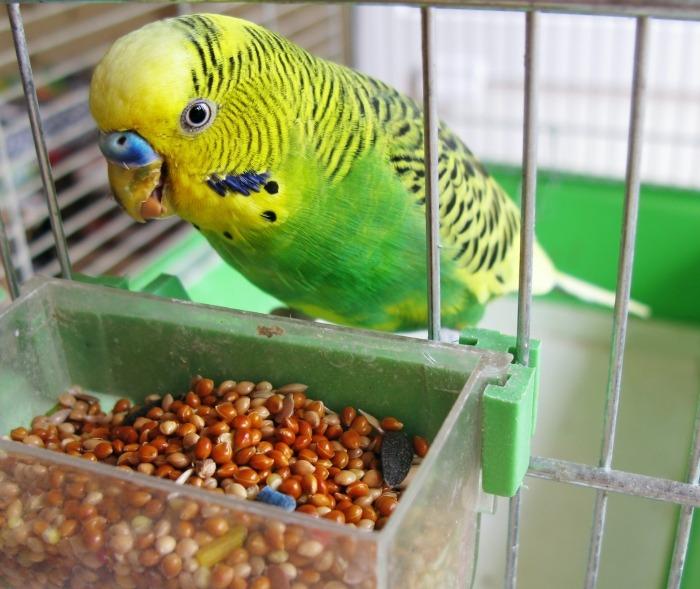Geel-groene parkiet met voederbakje in kooi