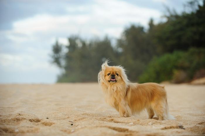 pekinees op het strand