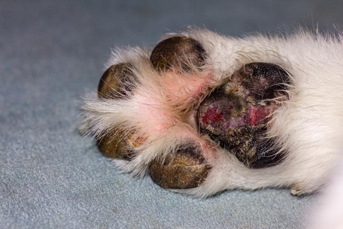 Pijnlijke voetzolen hond