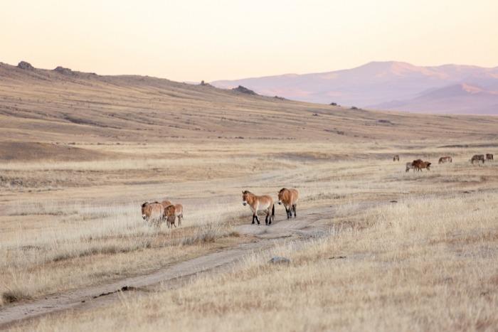 Przewalskipaarden in Mongolië