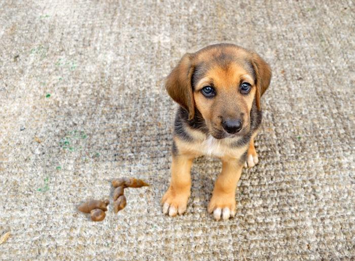 Pup naast drolletje op tapijt