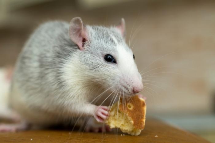 Tamme witte rat eet een stukje brood