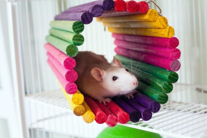 Rat in rolletje