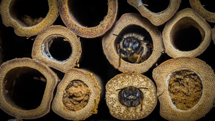 Metselbijen in bijenhotel