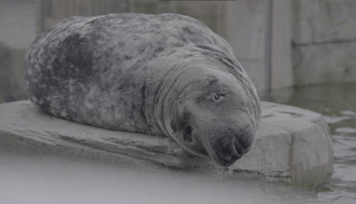Een slechtziende zeehond