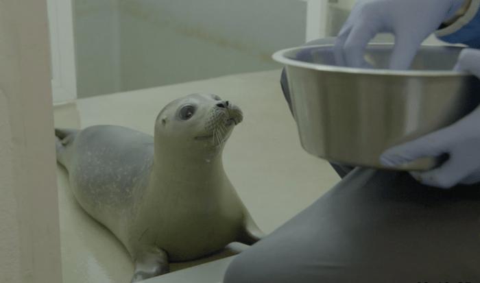 Zeehond wordt verzorgd in zeehondenopvangcentrum