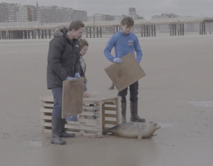 Vrijlating zeehond op het strand van Blankenberge