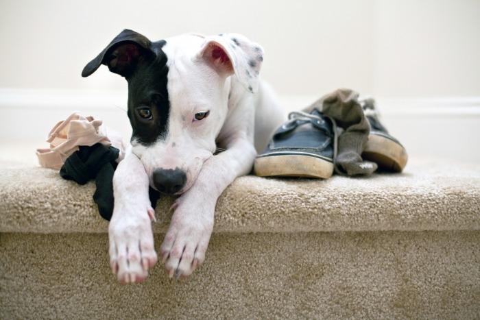 Hond kijkt schuldig naast een paar schoenen