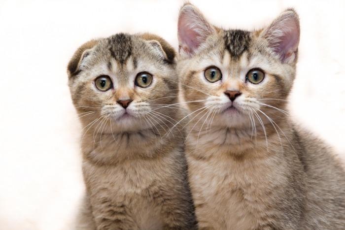Scottish fold en Scottish straight kitten