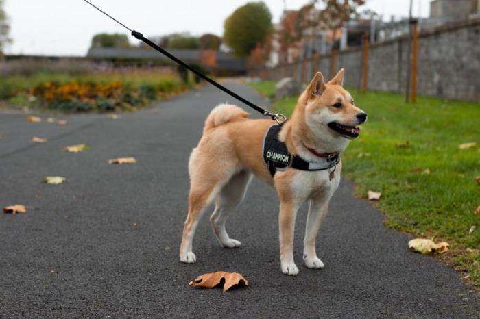 de_shiba_een_fluffy_japanse_hond