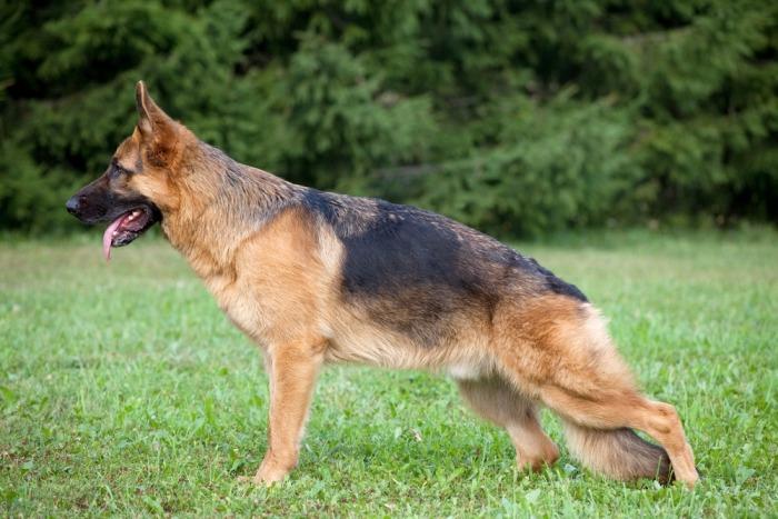Duitse herder