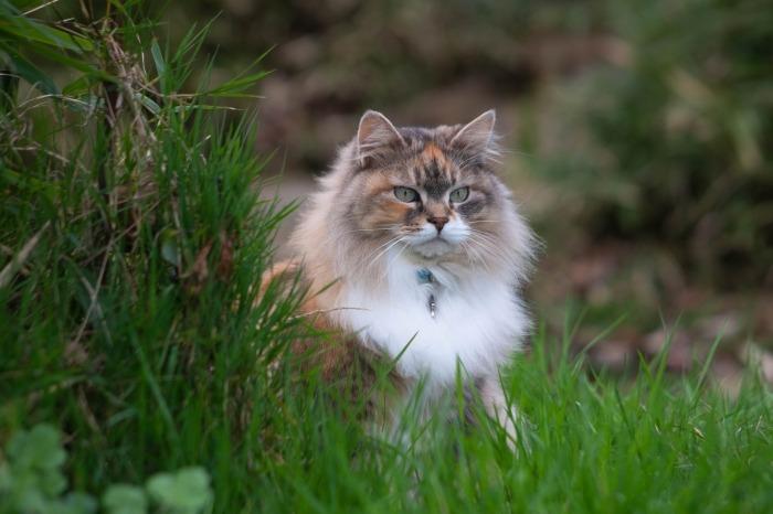 Siberische kat in het gras