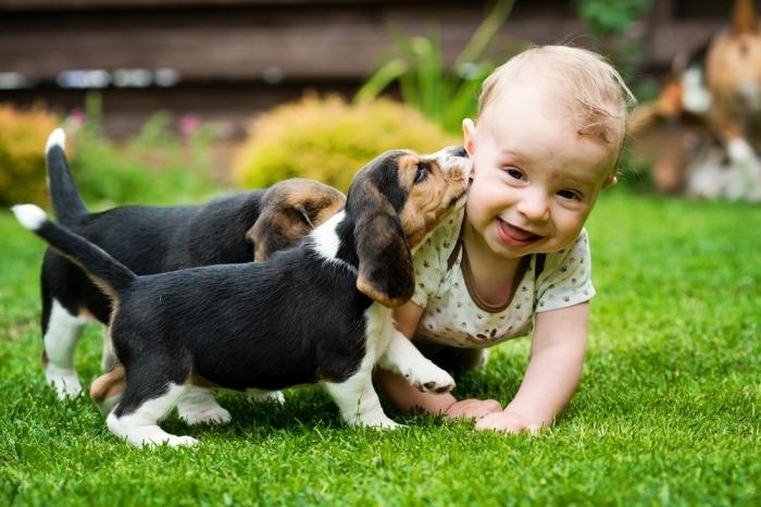 Baby speelt met twee beagle pups