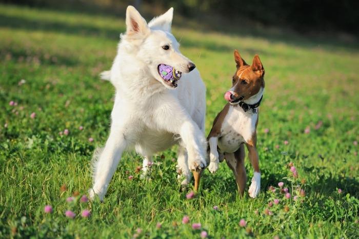 Spelende honden met bal