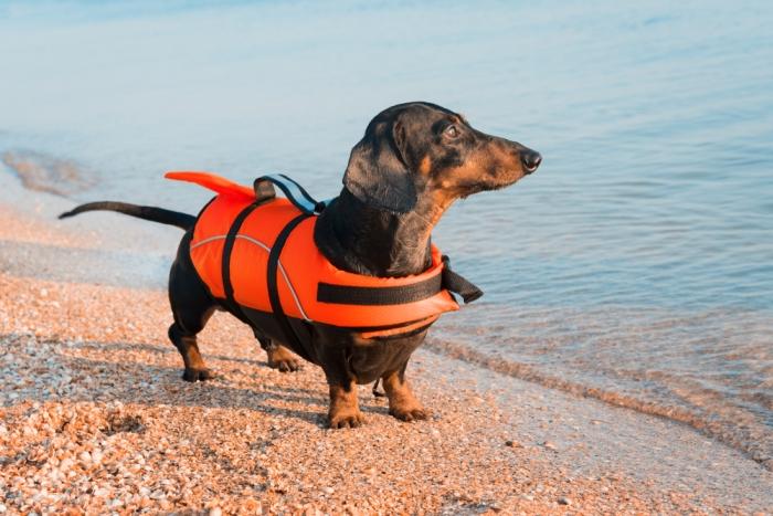 Teckel met zwemvest op strand