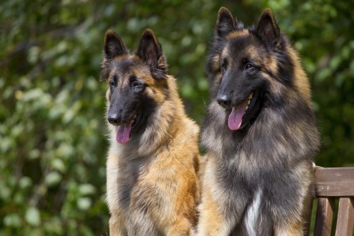 Twee Tervuerense herders