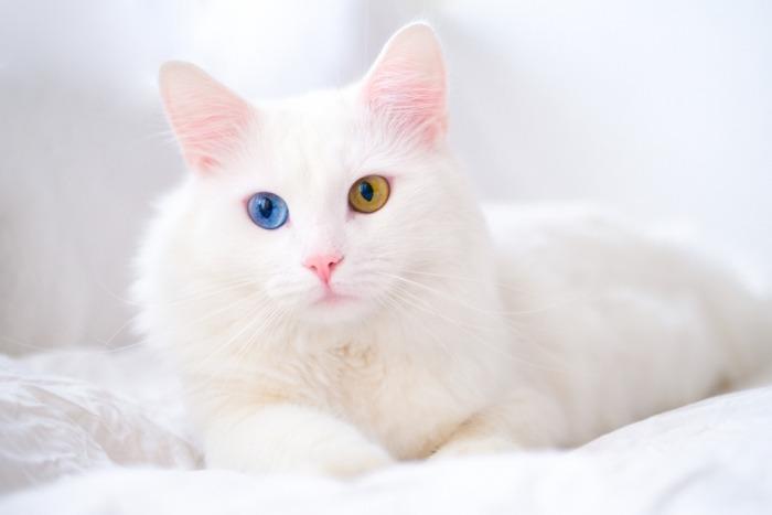 Turkse angora met twee verschillende oogkleuren
