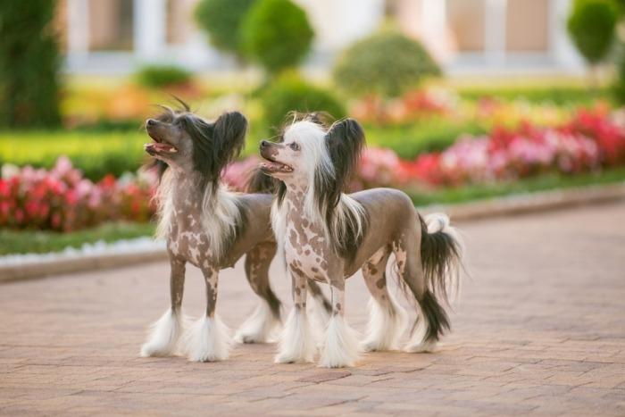 twee Chinese naakthonden