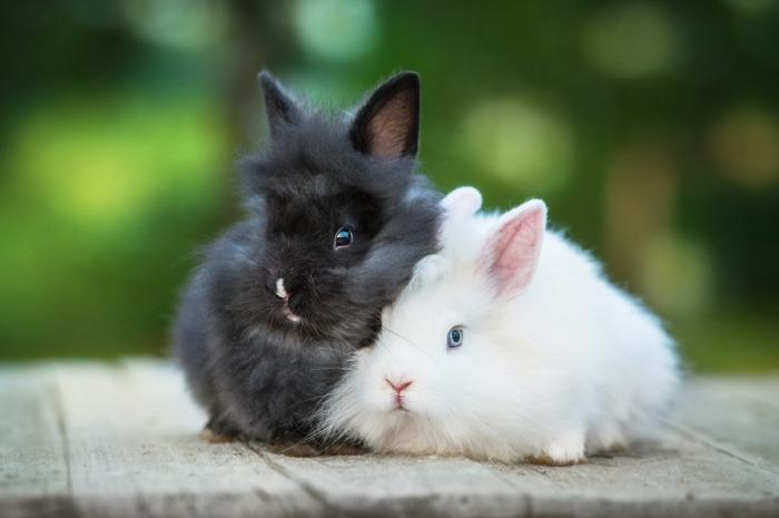 twee kleine angorakonijnen