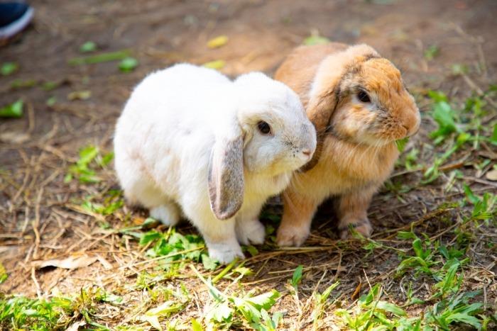 Wit en bruin konijn