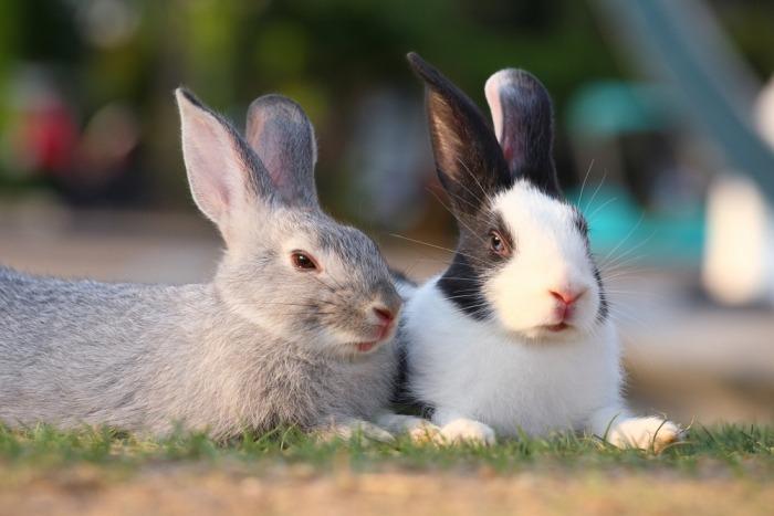 Twee konijnen liggen naast elkaar