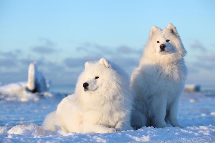 twee samojeden in de sneeuw