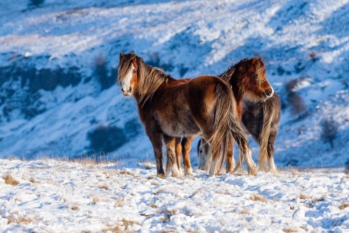 twee Welsh pony's