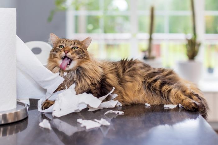 Langharige binnenkat vernielt huishoudpapier