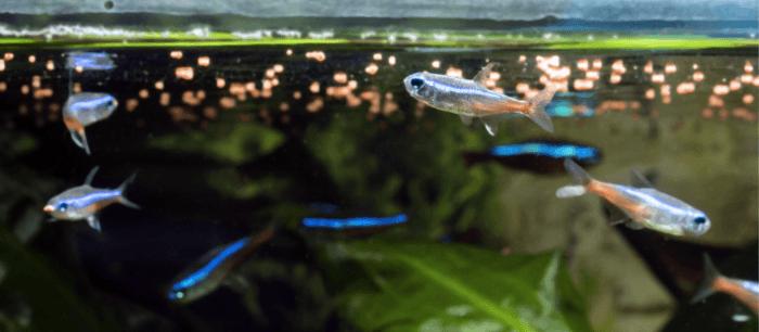 Granulaat is goed voor kleine, schuwe vissen