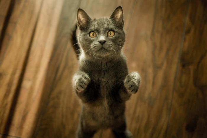 Donkergrijze kat die staat op twee pootjes