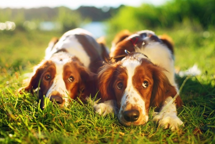 Twee Welshies liggen naast elkaar in het gras