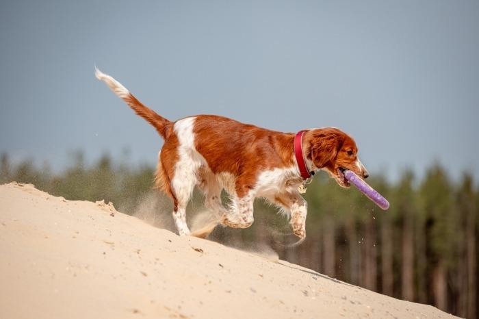 Een Welsh Springer Spaniel speelt in het zand met een frisbee