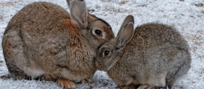 konijnen in de sneeuw