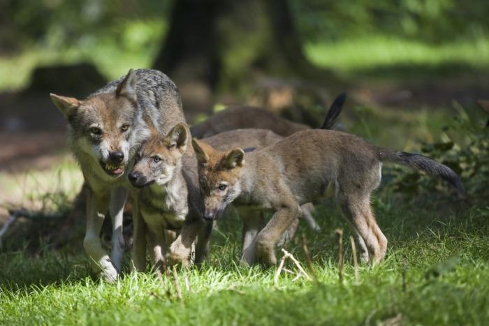 Wolf toont tanden terwijl welpen in de buurt zijn