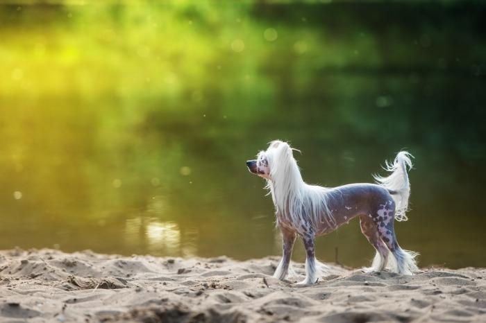 zijaanzicht Chinese naakthond