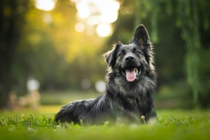 Zwarte hond in het gras