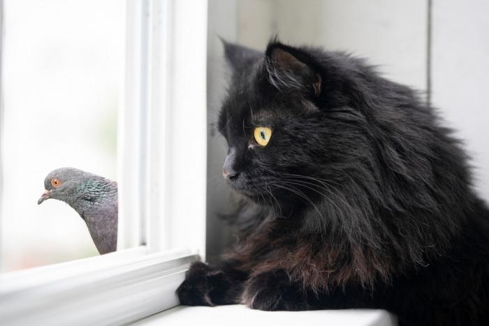Zwarte kat kijkt naar duif achter raam