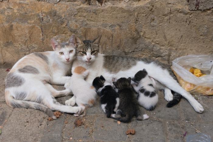 Zwerfkatten met kittens