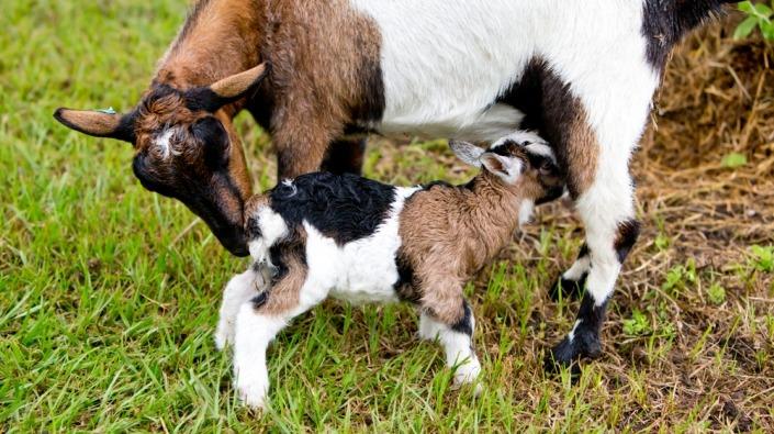 Gevlekte dwerggeit zoogt haar gevlekt jong in het gras
