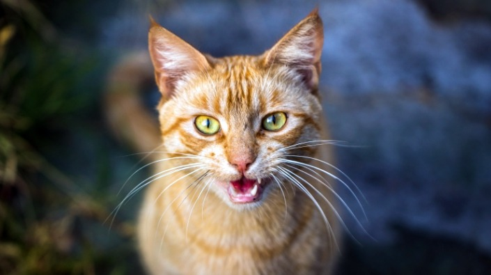 Mijn kat miauwt wanneer ze krols is. Wat doe ik hieraan?