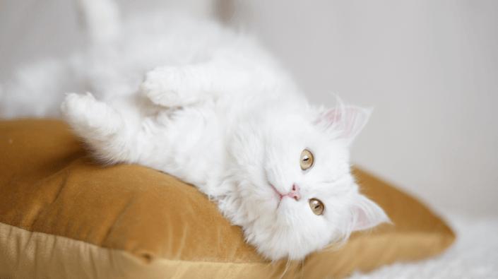 witte raskat